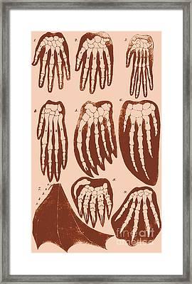 Vertebrate Mammal Forefeet, Ernst Framed Print
