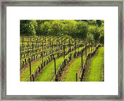 Vineyard In July Framed Print