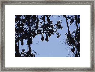 Vulnerable Spectacled Flying Fox Bats Framed Print by Jason Edwards