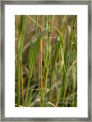 Walking Stick Insect Framed Print by Ted Kinsman