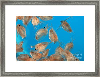Water Flea Daphnia Magna Framed Print by Ted Kinsman