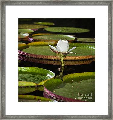 Water Lily Framed Print by Johan Larson