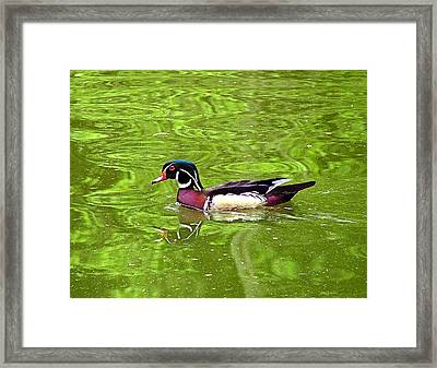 Water Wood Duck Framed Print