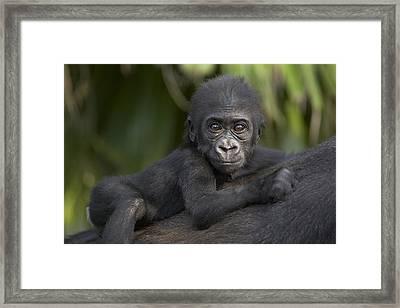Western Lowland Gorilla Gorilla Gorilla Framed Print by San Diego Zoo