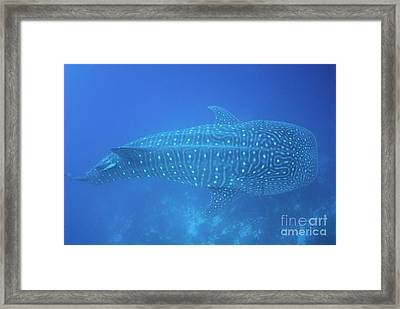 Whale Shark Framed Print by Sami Sarkis