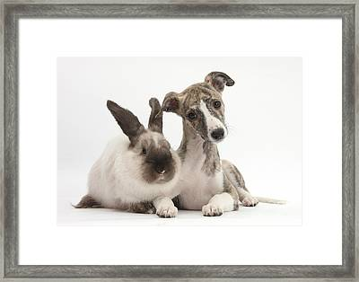 Whippet Pup With Colorpoint Rabbit Framed Print
