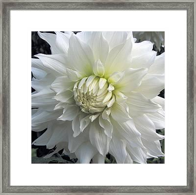 White Dahlia Beauty Framed Print