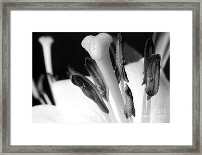 White Lilly On Black Framed Print