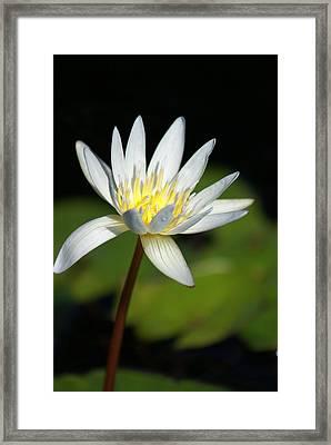 White  Framed Print by Margaret Steinmeyer