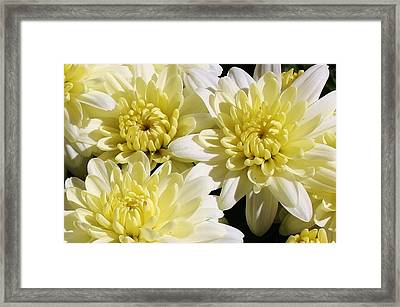White Mums Framed Print by Bruce Bley