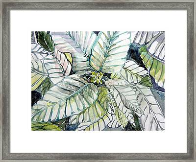 White Poinsettia Framed Print by Mindy Newman