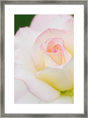 White Rose With Pink Edge Framed Print by Atiketta Sangasaeng