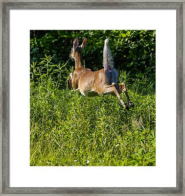 White-tailed Deer Framed Print by Brian Stevens
