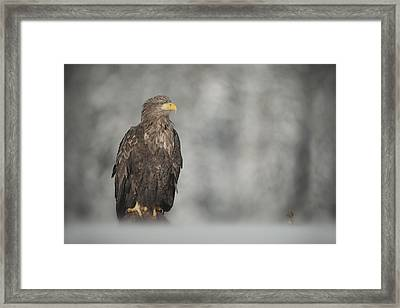 White-tailed Eagle Framed Print by Andy Astbury