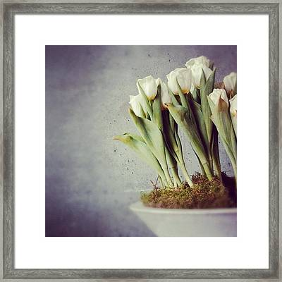 White Tulips In Bowl - Gray Concrete Wall Framed Print