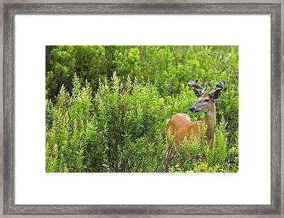 Whitetail Deer In Meadow, Killarney Framed Print by Mike Grandmailson