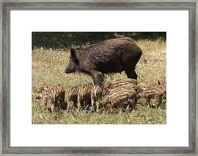 Wild Boar Framed Print by Steve Mangan