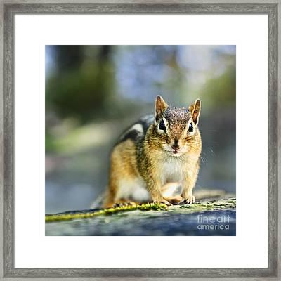 Wild Chipmunk Framed Print by Elena Elisseeva