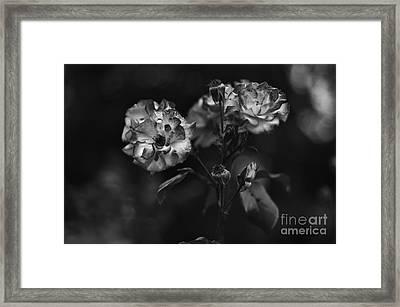 Wild Rose Framed Print by Dariusz Gudowicz