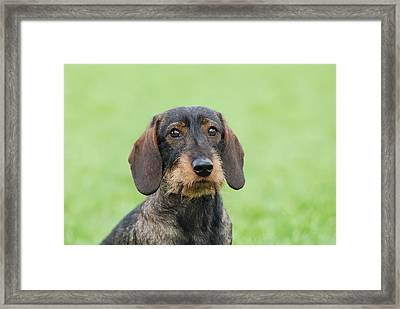 Wire-haired Dachshund Dog  Framed Print by Waldek Dabrowski