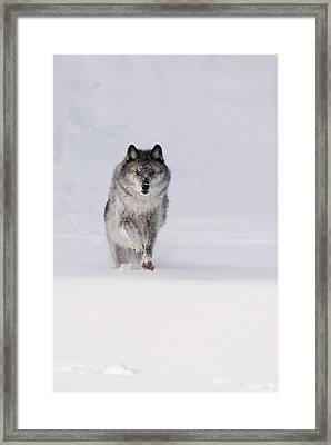 Wolf Running In The Snow Framed Print by Philippe Widling