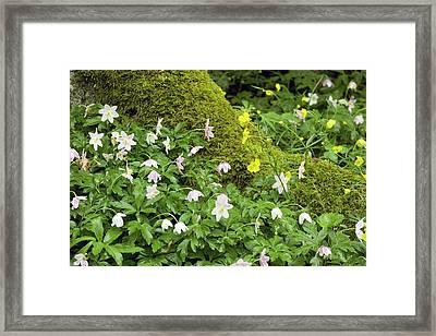 Wood Anemones (anemone Nemorosa) Framed Print by Bob Gibbons