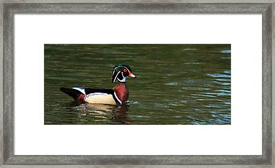 Framed Print featuring the photograph Wood Duck by Josef Pittner