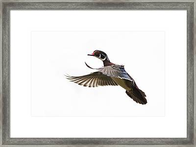 Wood Duck Framed Print by Mircea Costina Photography