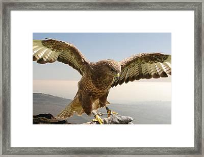 Wyre Hawk Framed Print