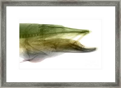 X-ray Of Muskie Framed Print by Ted Kinsman