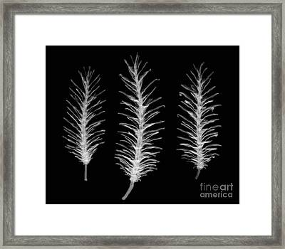 X-ray Of Pine Cones Framed Print by Ted Kinsman