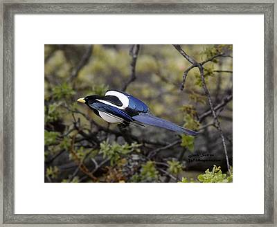 Yellow-billed Magpie  Framed Print by Jack Sutton