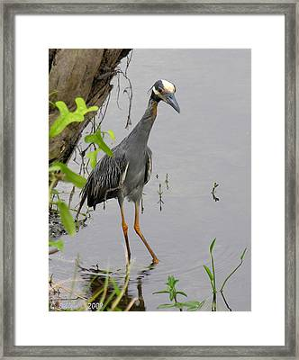 Yellow Crowned Night Heron Framed Print by Grace Dillon