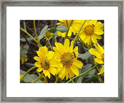 Yellow Daisy Framed Print by Steve Huang