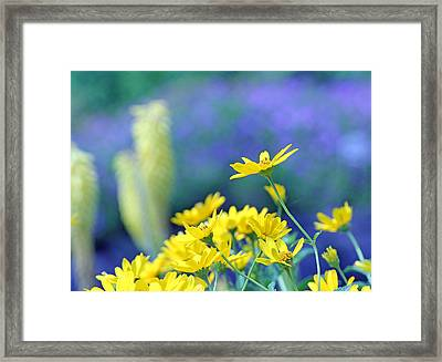 Yellow Flowers Framed Print by Becky Lodes