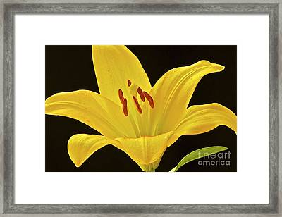 Yellow Lily Framed Print by Mihaela Limberea