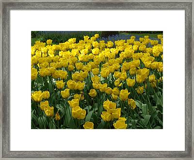 Yellow Tulips 2 Framed Print by Larry Krussel