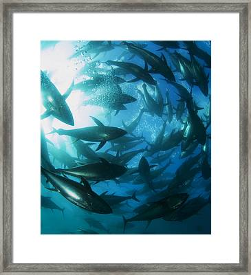 Yellowfin Tuna Framed Print by Louise Murray