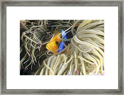 Yellowtail Anemonefish In Its Anemone Framed Print by Alexis Rosenfeld
