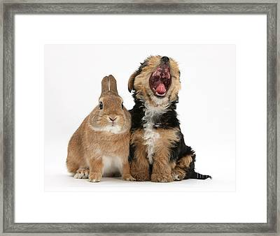 Yorkshire Terrier Pup With Rabbit Framed Print by Mark Taylor