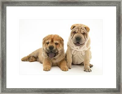 Young Dogs Framed Print by Jane Burton
