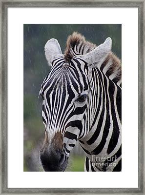 Zebra Framed Print by Thomas Marchessault
