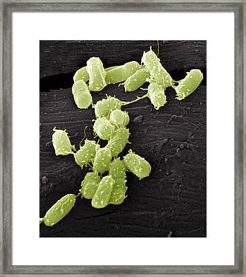 E. Coli Bacteria, Sem Framed Print by Steve Gschmeissner