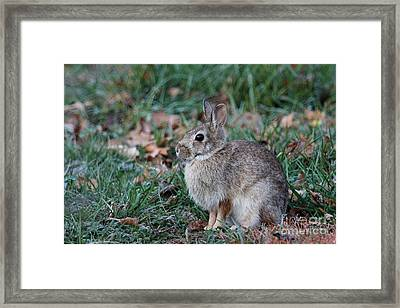 Eastern Cottontail Rabbit Framed Print by Jack R Brock