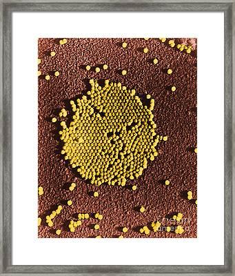 Poliovirus, Tem Framed Print by Science Source
