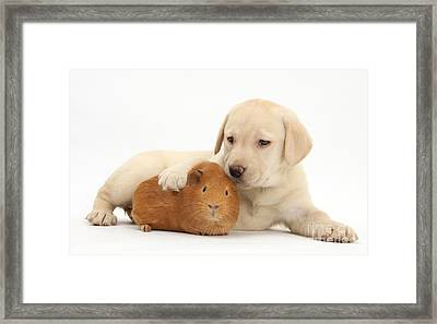 Puppy And Guinea Pig Framed Print