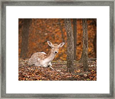 1111-7638 Fawn In Fall Framed Print by Randy Forrester