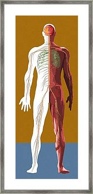 Human Anatomy, Artwork Framed Print by Mehau Kulyk