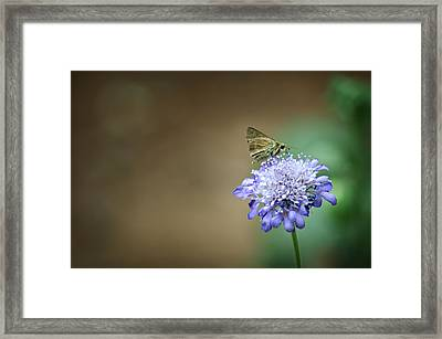 1205-8785 Skipper On A Butterfly Blue Pincushion Flower Framed Print by Randy Forrester
