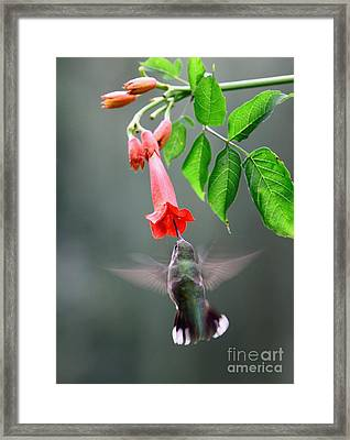 Ruby-throated Hummingbird Framed Print by Jack R Brock